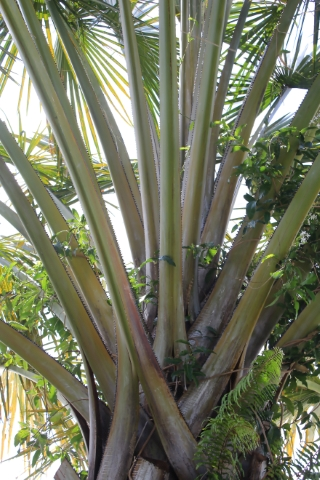Corypha umbraculifera L.
