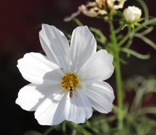 Cosmos bipinnatus Cav.