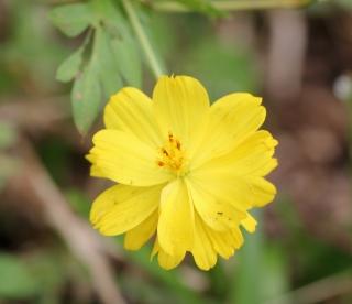 Cosmos caudatus Kunth. Fleur.
