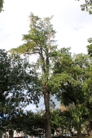 Couroupita guianensis Aubl.