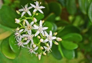 Crassula ovata, fleurs.
