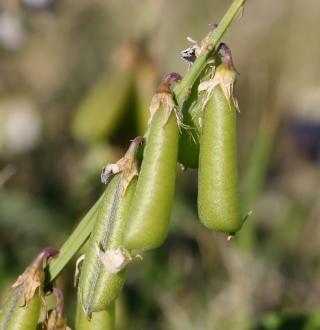 Crotalaria verrucosa L. Fruits.