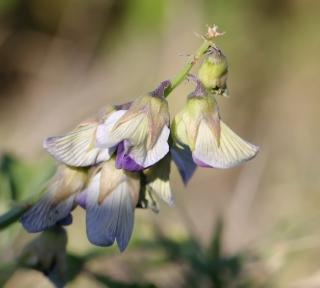 Crotalaria verrucosa L. Fleur.