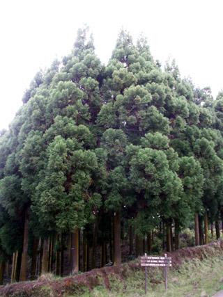 Cryptomeria japonica. Cryptoméria du Japon.
