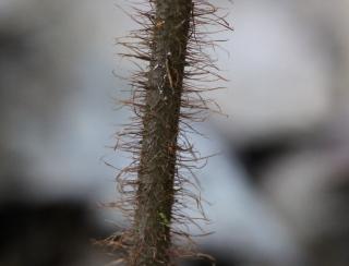 Ctenitis humida (Cordem.) Holttum.