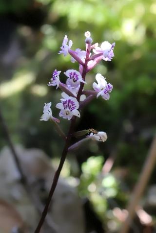 Cynorkis squamosa. Orchidée de La Réunion.