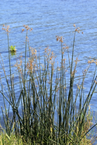 Cyperus articulatus L.