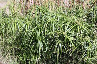 Cyperus involucratus Rottb.