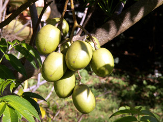 Pommier de cythère. Fruit : Zévi. Spondias dulcis.