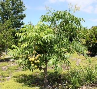 Prunier ou pommier de cythère fruit évis ou zévis.