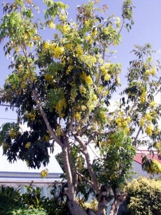 Cassia fistula. Cytise indien.