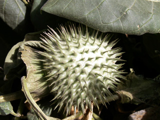 Datura inoxia Mill. Fruit.