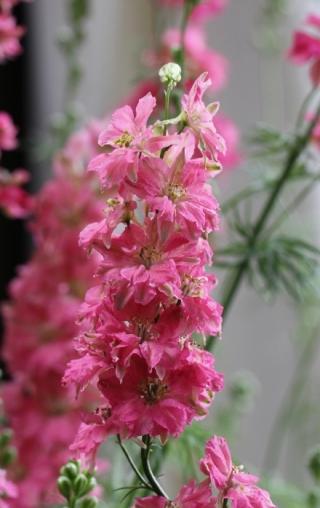 Delphinium ambiguum L. Pied d'Alouette. Delphinium.