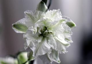 Fleur blanche Delphinium ambiguum L.