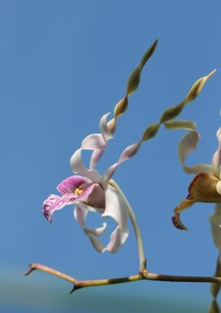 Dendrobium antennatum Lindl. 1843.