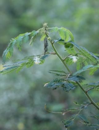 Desmanthus virgatus. Petit mimosa.