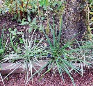 Dianella ensifolia (L.) DC.