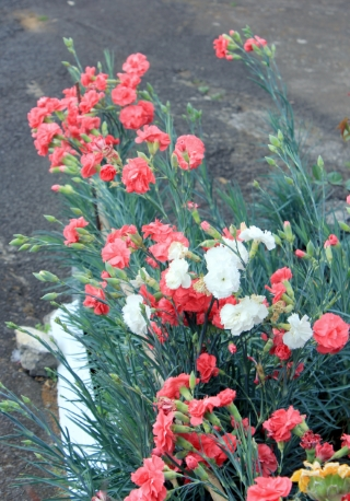 Dianthus caryophyllus L. Œillet commun.