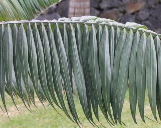 Palmiste de l'île Ronde