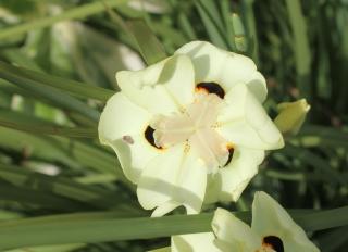 Dietes bicolor (Steud.) Sweet ex Klatt.