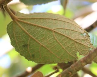 Dombeya ficulnea Baill. Mahot à petites feuilles.