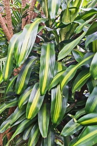 Dracaena fragrans, feuilles.