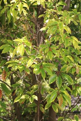 Elaeocarpus serratus L. Olivier de Ceylan.