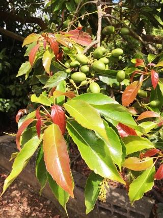 Elaeocarpus serratus L, olives de ceyland