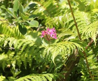 Epidendrum.