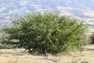 Prosopis juliflora. Espèce envahissante à La Réunion.