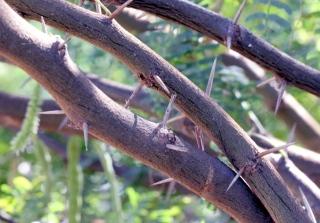 Branches et épines Prosopis juliflora.