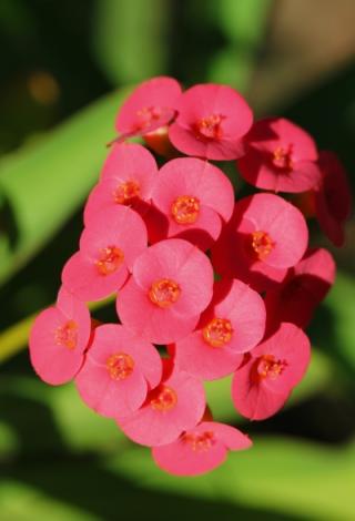 Fleurs Euphorbia milii Des Moul.