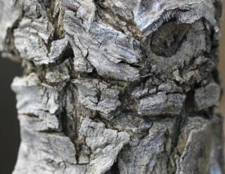 Ecorce. Erythrina crista-galli L.