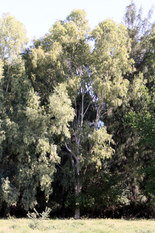 Eucalyptus tereticornis.