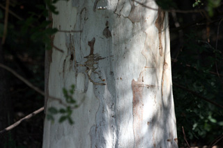 Tronc : Eucalyptus tereticornis.
