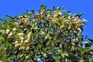 Eucalyptus robusta Sm.