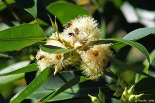Eucalyptus robusta Sm. Fleurs.