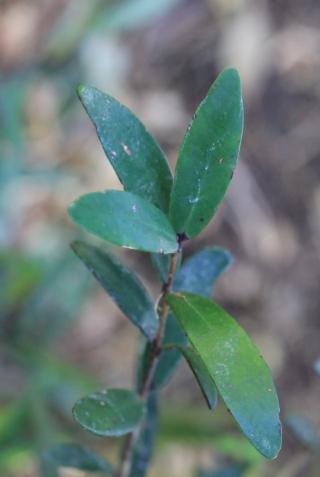 Eugenia mespiloides Lam.