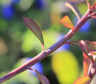 Euphorbia geroldii Rauh.