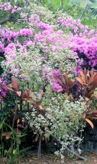 Euphorbia leucocephala Lotsy.