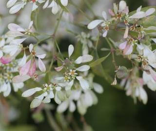 Fleurs Euphorbia leucocephala Lotsy.