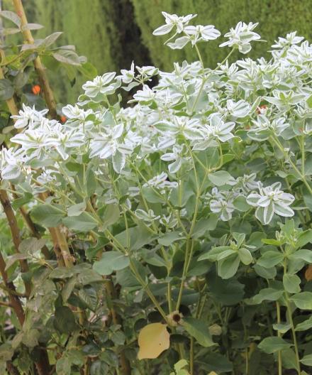 Euphorbia marginata Pursh, euphorbe panachée.