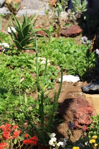 Euphorbia tithymaloides.