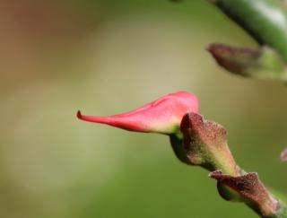 Fleur Euphorbia tithymaloides.