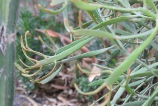 Euphorbia xylophylloides.