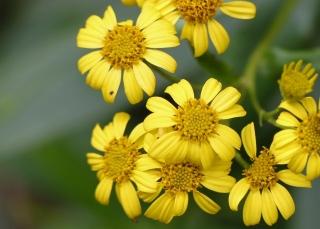 Fleurs : Faujasia salicifolia.
