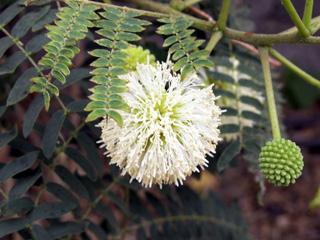 Leucaena leucocephala (Lam.) de Wit. Faux mimosa.