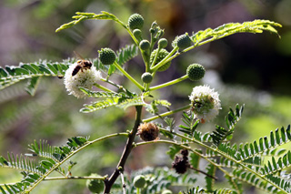 Leucaena leucocephala (Lam.) de Wit.