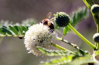 Leucaena leucocephala (Lam.) de Wit. Fleur.