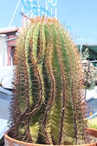 Ferocactus pilosus.